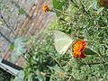 White butterfly in marigold1.JPG