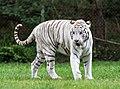 White tiger - Serengeti-Park Hodenhagen 2017 01.jpg