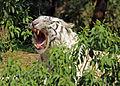 White tiger looking 1.jpg
