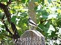 White wagtail on a fence, Botevgrad, Bulgaria.jpg