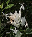 Whitfieldia elongata at BBG (50782).jpg