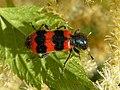 Wiktrichodes apiarius 3 beentree.jpg