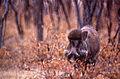 Wild Boar (Sus scrofa cristatus) (19907874892).jpg