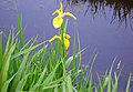 Wild flower near water 2.JPG