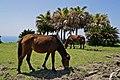 Wild horse of cape toi. - 都井岬の野生馬 - panoramio (1).jpg
