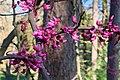 Willowwood Arboretum, Chester Township, NJ - Eastern redbud.jpg