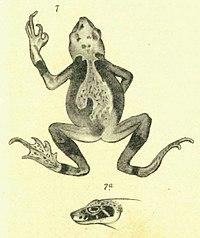 Wolterstorffina parvipalmata (Werner, 1898).jpg