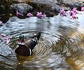 Wood Duck (3385646450).jpg