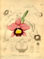 Xenia orchidacea -Beiträge zur Kenntniss der Orchideen von Heinrich Gustav Reichenbach fil. vol.2 (1874) Cattleya praestans (Rchb.f.) Van den Berg as Laelia praestans Rchb.f.png