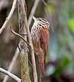 Xenops rutilans -Piraju, Sao Paulo, Brazil-8.jpg