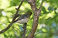 Yellow-throated Vireo National Butterfly Center Mission TX 2018-03-07 13-57-47 (40034112054).jpg