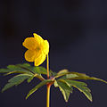 Yellow Anemone (4585004484).jpg