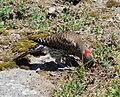 Yellow Shafted Flicker.jpg