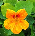 Yellow nasturtium in Portela - Apr 2013.jpg