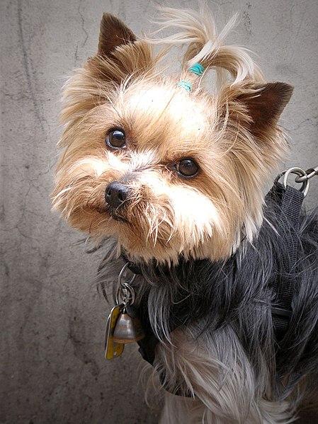 File:Yorkshire terrier 12.jpg