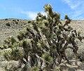 Yucca brevifolia 18.jpg