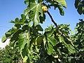 Yukarı Çağlar (Navahı) - Bahçerinden incir. - panoramio.jpg