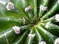 ZTS F299 Echinopsis eyriesii.JPG