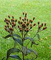 Zaadhoofdjes Vernonia crinita 'Mammuth'. Locatie. Tuinreservaat Jonkervallei.jpg