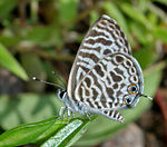 Zebra Blue (Leptotes plinius) in Hyderabad, AP W IMG 9098.jpg