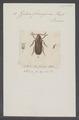 Zilora - Print - Iconographia Zoologica - Special Collections University of Amsterdam - UBAINV0274 028 03 0016.tif