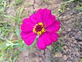 Zinnia single layer and 12 Petals faded pink 1.jpg