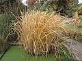 Zizania-latifolia-2.jpg