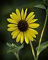 Zoo Sunflower (4935972151).jpg