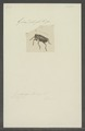Zygops - Print - Iconographia Zoologica - Special Collections University of Amsterdam - UBAINV0274 030 03 0048.tif