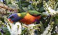(1)Rainbow lorikeet 063.jpg