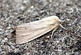 (2197) Southern Wainscot (Mythimna straminea) (5897574694).jpg