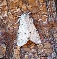 (2280) The Miller (Acronicta leporina) (35517996990).jpg