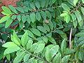 (Annona squamosa) foliage at Gajuwaka.JPG