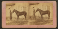 (Horse named) Almont, by James Mullen.png
