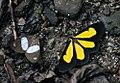 ? (Notodontidae- Dioptinae) and Cyllopoda sp. (Geometridae- Sterrhinae- Cyllopodini) (2871457227).jpg