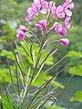 Épilobe à feuilles étroites (Chamerion angustifolium) (5).jpg