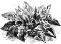 Épinard d'Angleterre Vilmorin-Andrieux 1883.png