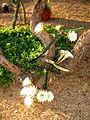 × Harrisinopsis jusbertii (3582451838).jpg