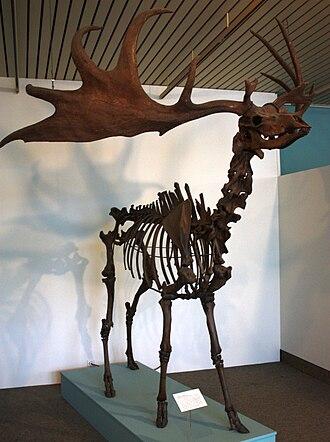 Irish elk - Mounted skeleton in Bremen