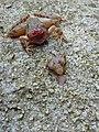 Αποκεφαλισμένος βάτραχος.jpg