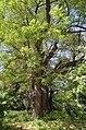 Вікові дерева софори японської, Голосіївський район вул. Китаївська,32 02.jpg