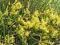 Ефедра двоколоса, цвітіння.jpg