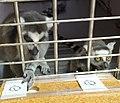 Исследование способностей к выявлению информативных признаков изображений у кошачьего лемура 2.jpg