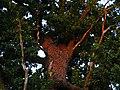 Могучая крона дуба в верхней части парка Горка Кристера.jpg