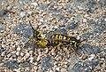 Оса германская - Vespula germanica - German Wasp - Европейска жълта оса - Deutsche Wespe (22241433470).jpg