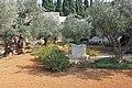 Оld Olive trees in the Garden of Gethsemane, 08.jpg