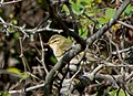 Пеночка-весничка - Phylloscopus trochilus - Willow warbler - Брезов певец - Fitis (37420840645).jpg