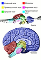 Позвоночные — мозг — области.png