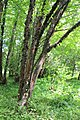 Раифский дендрарий. Зеленодольский р-н. РТ. Июль 2014 - panoramio.jpg