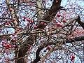 Райские яблочки в Кремле - panoramio.jpg